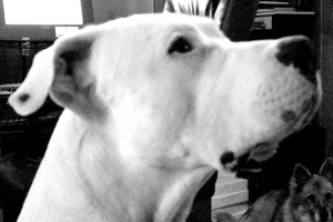 The head of a Dogo Argentino, Kaizen